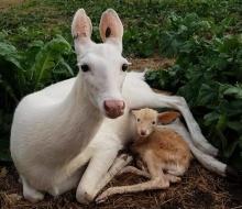 Albino Mama & Fawn